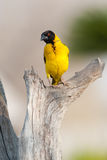 Masked weaver. A colorful masked weaver in zimbabwe Royalty Free Stock Photos