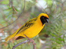 Masked weaver. African Masked Weaver (Ploceus velatus) is a resident breeding bird species common throughout southern Africa Royalty Free Stock Photos