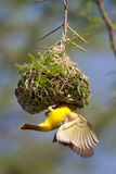 Masked weaver. A male southern masked weaver displaying below a nest it has built Stock Photography