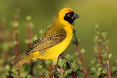 Masked Weaver. A beautiful yellow and black masked weaver sitting on African spekboom Royalty Free Stock Photo