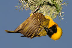Masked Weaver. Male masked weaver (Ploceus velatus) hanging below its nest, South Africa stock photography