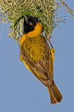 Masked Weaver. Male masked weaver (Ploceus velatus) hanging below its nest, South Africa royalty free stock images