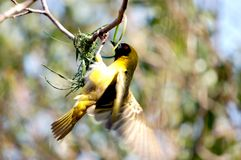 Masked Weaver. Image of masked weaver building its nest, wings blurred with flapping motion Stock Photography
