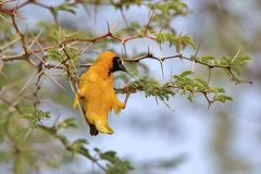 Masked Weaver - African Wild Bird Background - Acrobatic Beauty Royalty Free Stock Photo