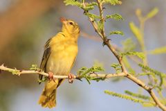 Masked Weaver - African Wild Bird Background - Posing Yellow Royalty Free Stock Photos