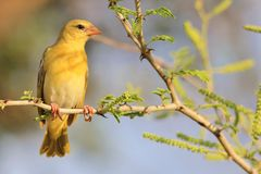 Masked Weaver - African Wild Bird Background - Potrait of Yellow Stock Image
