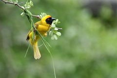 Masked weaver beginning nest, South Africa Stock Image