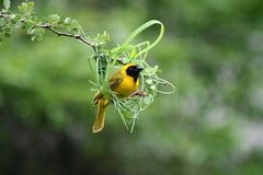 Masked weaver beginning nest, South Africa Royalty Free Stock Photography
