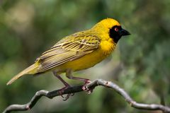Masked Weaver Bird. Pretty yellow Masked Weaver bird with an orange eye Royalty Free Stock Photography
