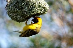Masked Weaver Bird royalty free stock photography
