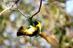Masked Weaver Bird. Image of masked weaver building its nest, wings blurred with flapping motion Royalty Free Stock Photos