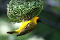 Masked Weaver Bird. Hanging from it's nearly completed nest Royalty Free Stock Images