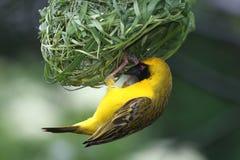 Masked Weaver Bird Royalty Free Stock Photography