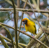 Masked Weaver Bird Stock Photography