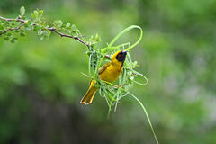Masked weaver building nest. Southern masked weaver male constructing pendulous nest using grass blades, Krüger National Park, South Africa Stock Photo