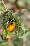 Masked Weaver Building Nest. A masked weaver hard at work, building a nest in an Acacia branch with some fresh green grass Stock Image