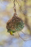 Masked Weaver Chick Royalty Free Stock Photo