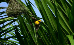 Masked Weaver Royalty Free Stock Photo