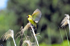Masked Weaver Royalty Free Stock Photography