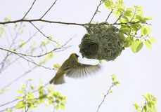 Masked Weaver In Flight At Nest Stock Photo