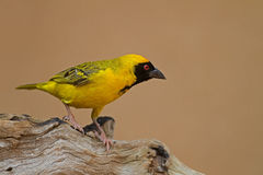 Masked weaver perched on log Royalty Free Stock Images