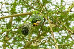Yellow bird nest. Masked weaver sitting on top of nest.Yellow bird nest Royalty Free Stock Image