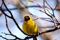 Masked Weaver in a tree stock image