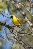 Masked Weaver in tree Stock Photo