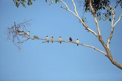 Masked Woodswallow Stock Photo