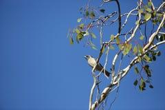 Masked Woodswallow Stock Photography