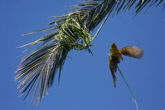 Masked yellow weaver building nest. Masked yellow weaver bird flying to its nest Stock Image