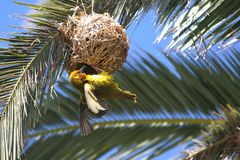 Masked yellow weaver building nest. On palm branch royalty free stock photography