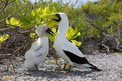 Maskentölpel-Vogel-Mutter mit einem Küken Lizenzfreie Stockfotos
