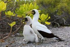 Maskentölpel-Vogel-Mutter mit einem Küken Lizenzfreie Stockbilder