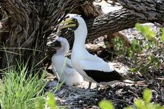Maskentölpel-Vogel-Mutter mit einem Küken Stockfotografie