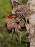 Maskerad Crimson Tanager arkivfoton