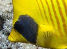 maskerad fisk Arkivfoton