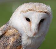 maskerad owl Arkivbild