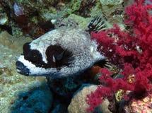 Maskerad Puffer, Arothron diadematus på den farliga reven, St John Fotografering för Bildbyråer