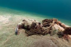 Maskerad puffer (arothrondiadematus) i Röda havet. Royaltyfri Foto