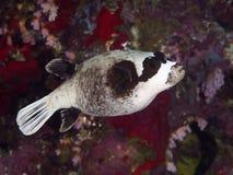 Maskerad puffer för korall fisk Royaltyfri Foto