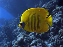 maskerad semilarvatus för butterflyfish chaetodon royaltyfria bilder