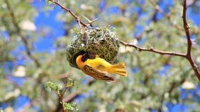 Maskerad vävare (guling) - fåglar från Afrika som bygger ett hem Fotografering för Bildbyråer