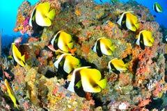 Maskerade bannerfish arkivfoto