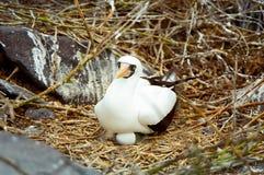 maskerat bygga bo för boobyägg galapagos Royaltyfri Bild