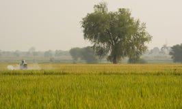 Maski, Karnataka, Индия - 2,2017 -го декабрь: Пестицид фермера распыляя в рисовых полях стоковое изображение