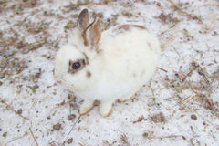 Masking white rabbit on the snow Stock Images