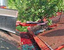 Maskinvibrator för att skörda den söta körsbäret Arkivbild