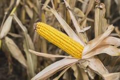 Maïskolf op het Gebied Korenaar in Autumn Before Harvest Agriculture Concept Stock Afbeeldingen