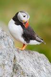 Maskonur na skale Denny ptak od Icelland Śliczny ptak na rockowej falezie Atlantycki maskonur, Fratercula artica, artic czarny i  Fotografia Stock
